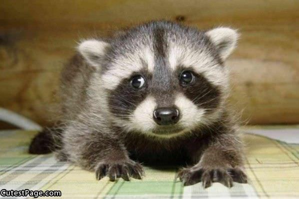 Cute Little Racoon