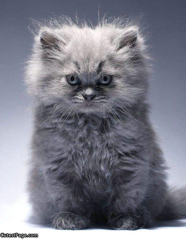 cute fluffy kittens White Teacup Persian Kitten