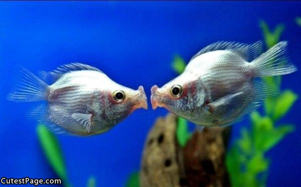 Kissing Fish All Cute Pictures