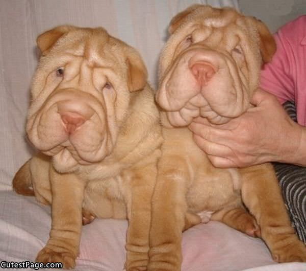 Sharpei Cute Faces