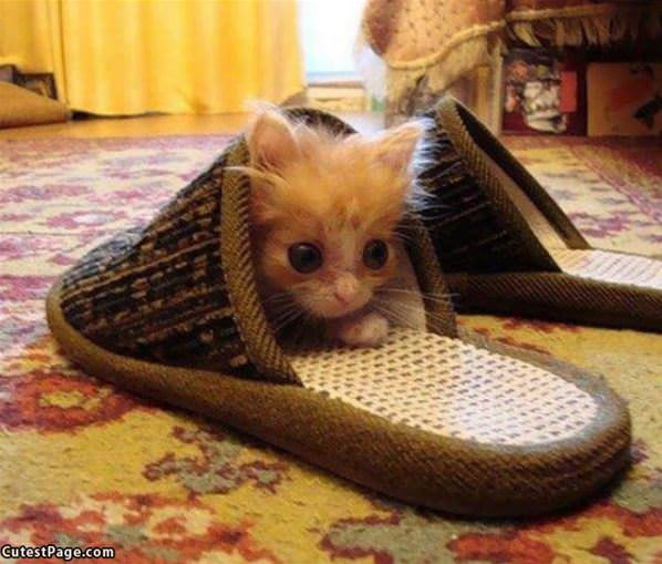 Slipper Kitty
