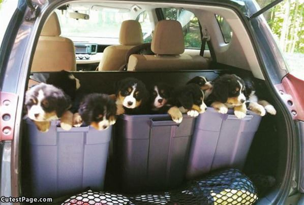Trunk Of Puppies